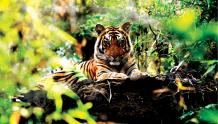 Framed Prints & Gifts - Vigilant Tiger