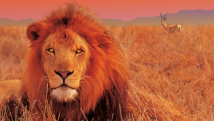 The Lion and The Gazelle Motivational Posters