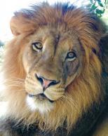 Framed Prints & Gifts - Lion Portrait