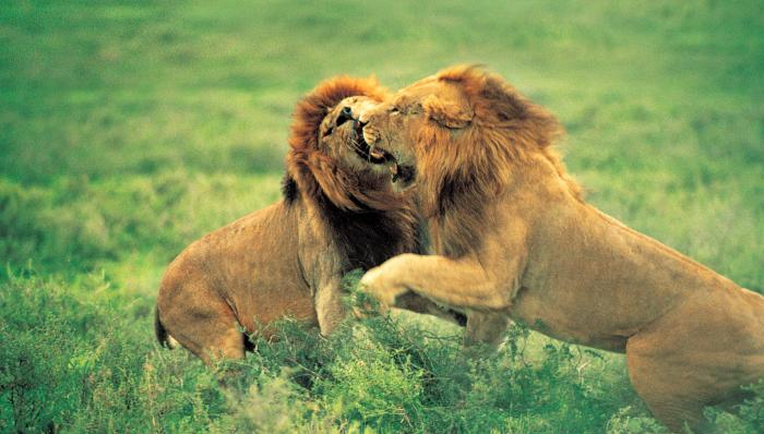 Lions Fighting Motivational Posters