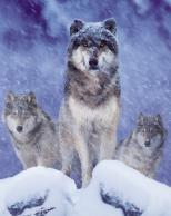 Framed Prints & Gifts - The Wolf Pack