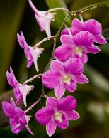 Framed Prints & Gifts - Pink Orchids