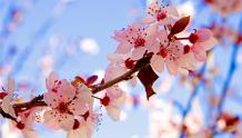 Framed Prints & Gifts - Cherry Blossoms
