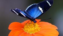 Framed Prints & Gifts - Blue Butterfly on Orange Flower