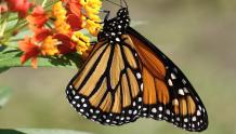 Framed Prints & Gifts - Monarch Butterfly