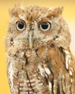 Framed Prints & Gifts - Owl Peering