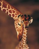 Framed Prints & Gifts - Giraffe's Kindness