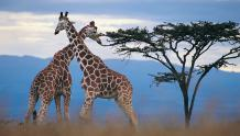 Framed Prints & Gifts - Committed Giraffes