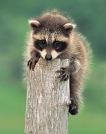 Framed Prints & Gifts - Baby Raccoon Climb