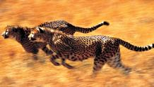 Framed Prints & Gifts - Team Cheetah