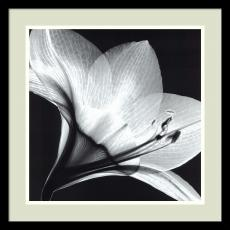Fine Art - Steven N. Meyers Amaryllis 1 Office Art