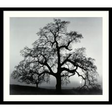 Fine Art - Ansel Adams Oak Tree, Sunset City, California, 1962 Office Art