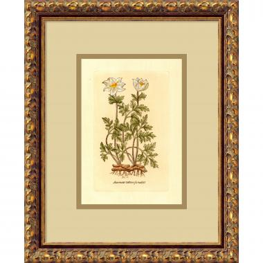 Anemone (Tuberosa Radice) Office Art