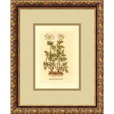 Flowers & Plants - Anemone (Tuberosa Radice) Office Art