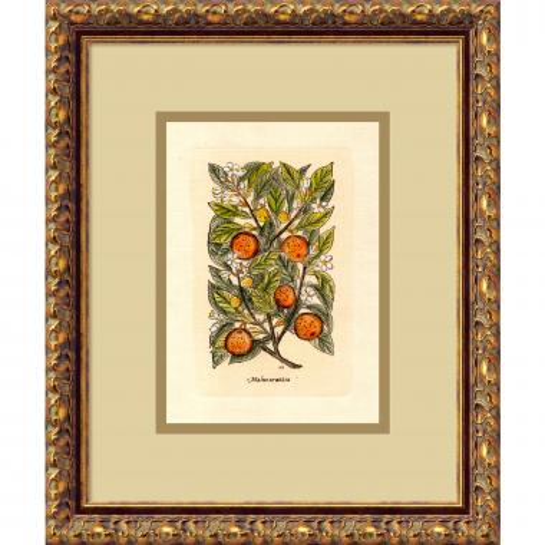 Orange (Malus Arantia) Office Art