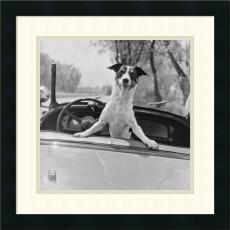 Fox Terrier in Convertible, 1953 Office Art