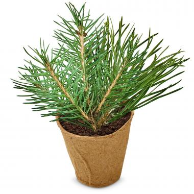 Working Growing Succeeding Pine Tree